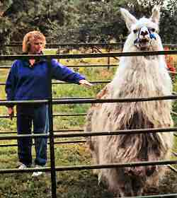 It is most important throughout to keep yourself a distance out from your llama that is just out of your arm's reach.