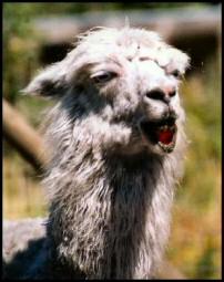 Do Llamas Really Spit?   Wonderopolis