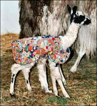 This little llama sports a colorful handmade cria coat.